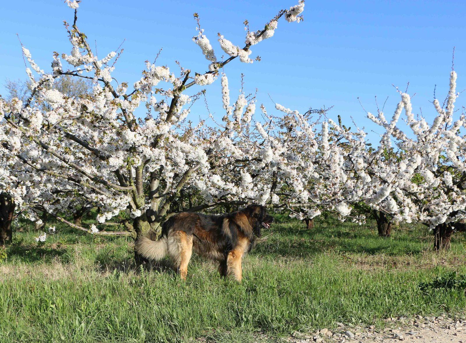 promenade matinale près d'un verger de cerisiers