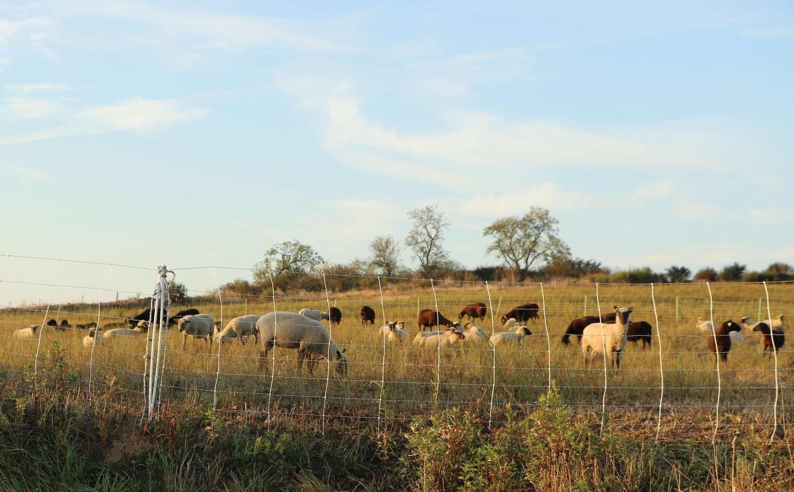 À l'arrivée des moutons, l'herbe est mi-haute.