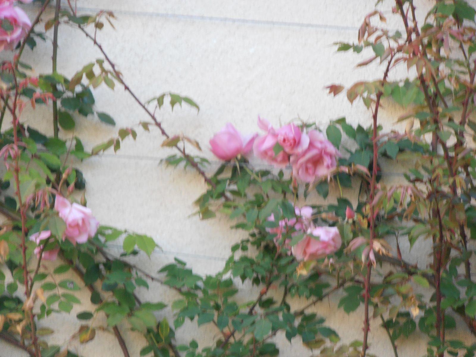 PREMIERES ROSES 2017