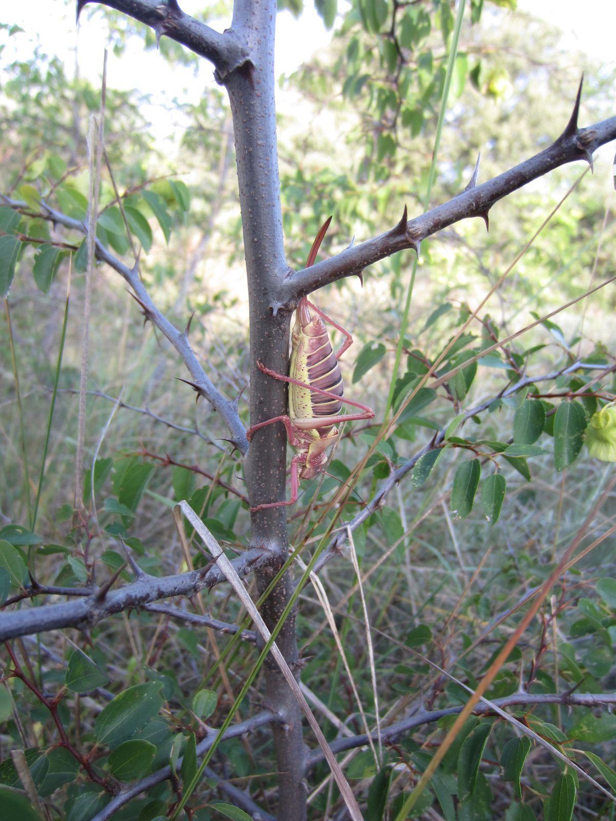 plus loin un criquet monstrueux se cache derrière une tige de paliure