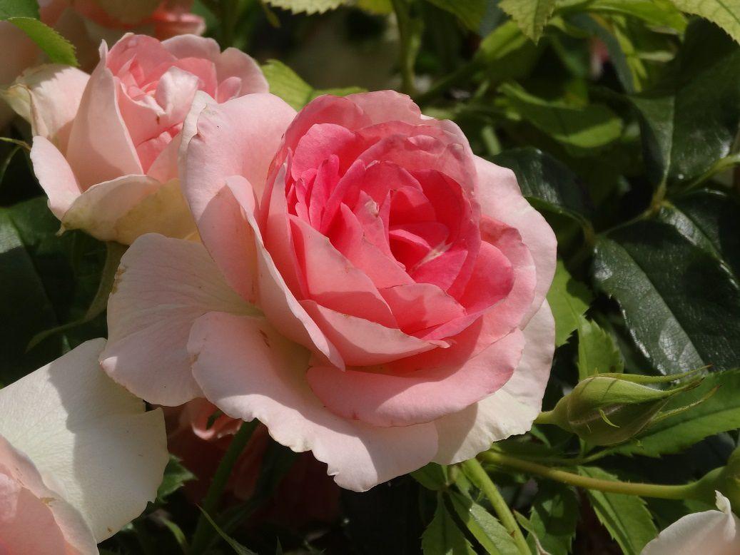 les roses du parc de saint-cloud 22 07 2015