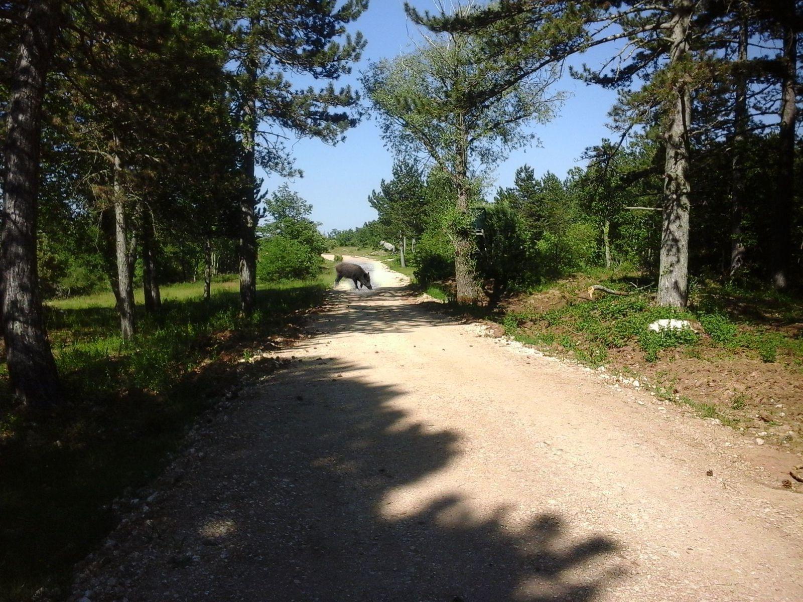 Sur le chemin du retour, quatre ou cinq sangliers traverse le chemin devant nous....!!!