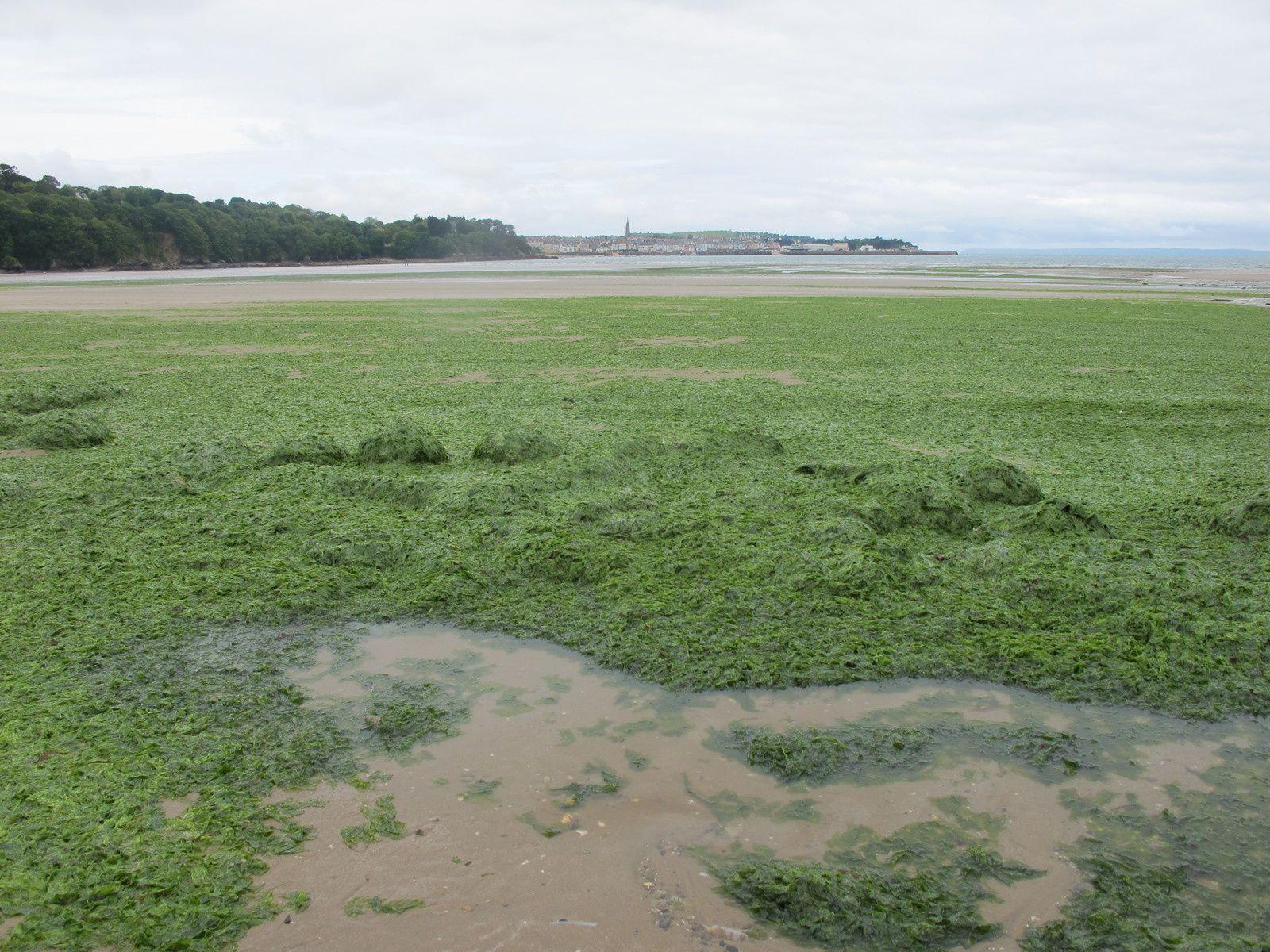 Algues vertes Plage du Ris vendredi 22 mai 2015