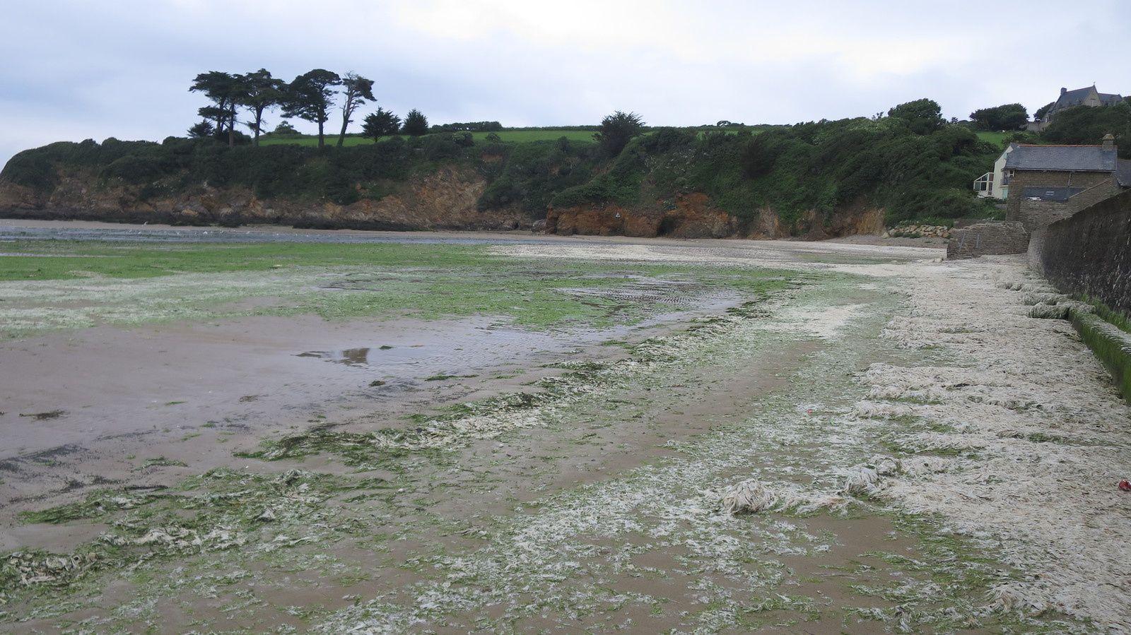Plage du Ris, algues vertes et blanches (décomposées) 12 juin