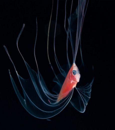 Corps transparent doué de bioluminescence.