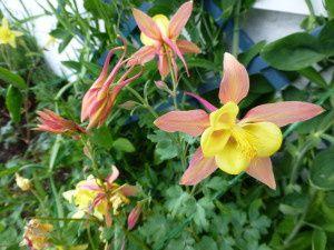 Notre petit paradis danois (8) - Mes fleurs