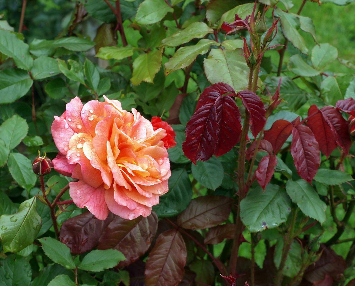 Fraicheur des roses