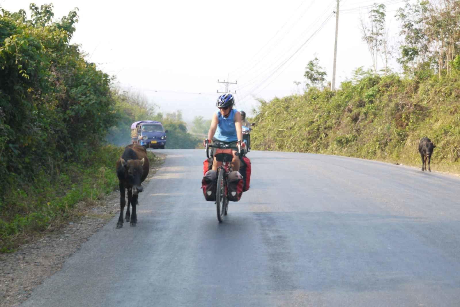 Quand on vous dit qu'elles sont cool les vaches laotiennes