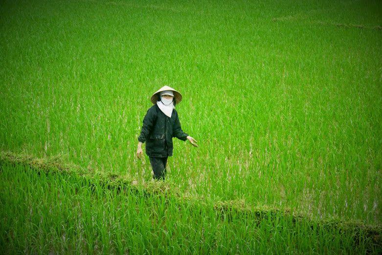 Partout où c'est possible, c'est-à-dire un terrain plat et de l'eau qui arrive de on ne sait où, on trouve une rizière