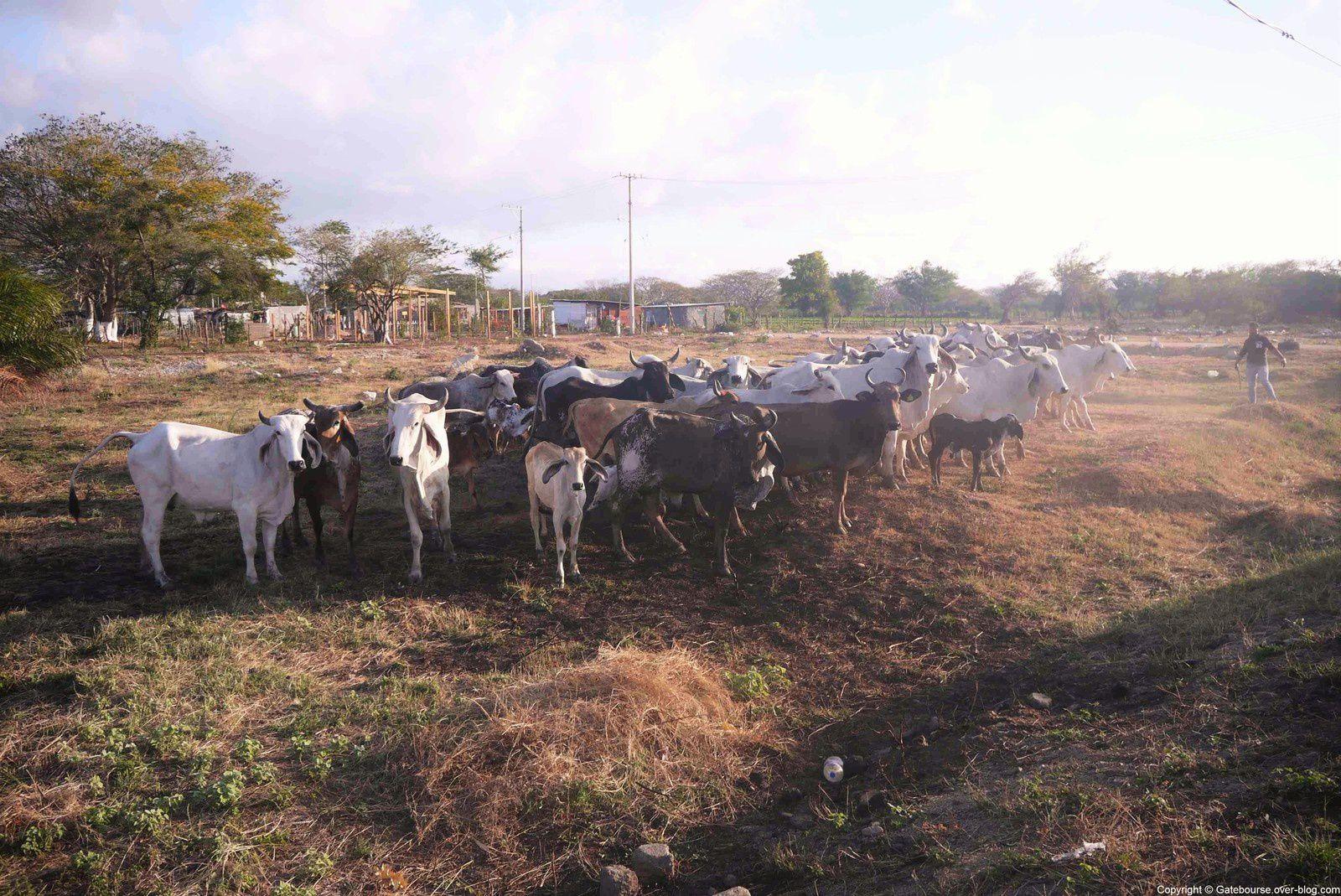 Oui il y a des vaches… avec une largeur de croupe réduite