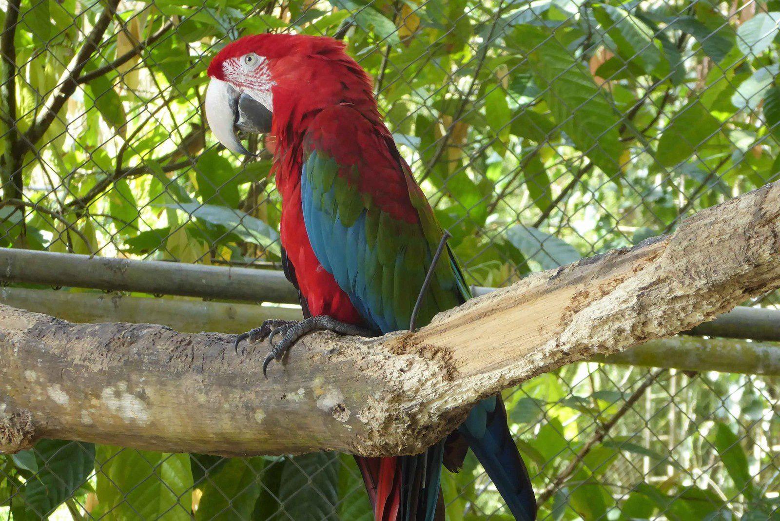 Pas sauvage pour un sou le perroquet (un ara ?) mais superbe !