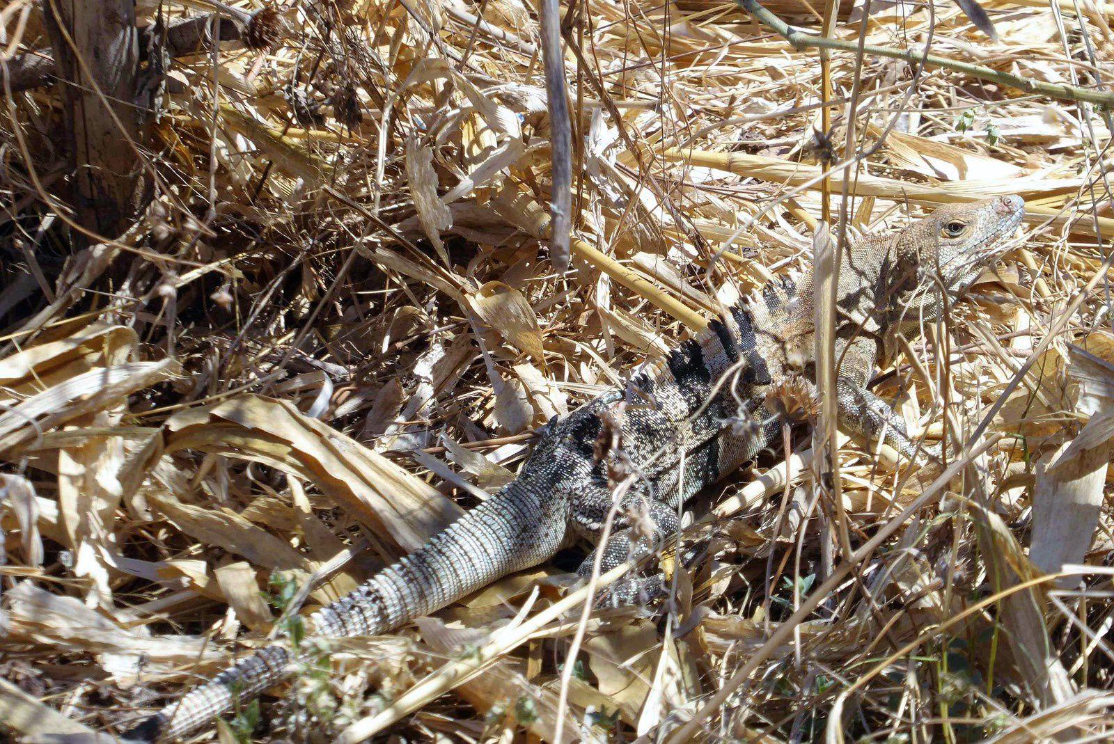 Il vient de traverser la route devant moi à une vitesse surprenante. Difficile de le repérer parmi les feuilles de maïs séchées.