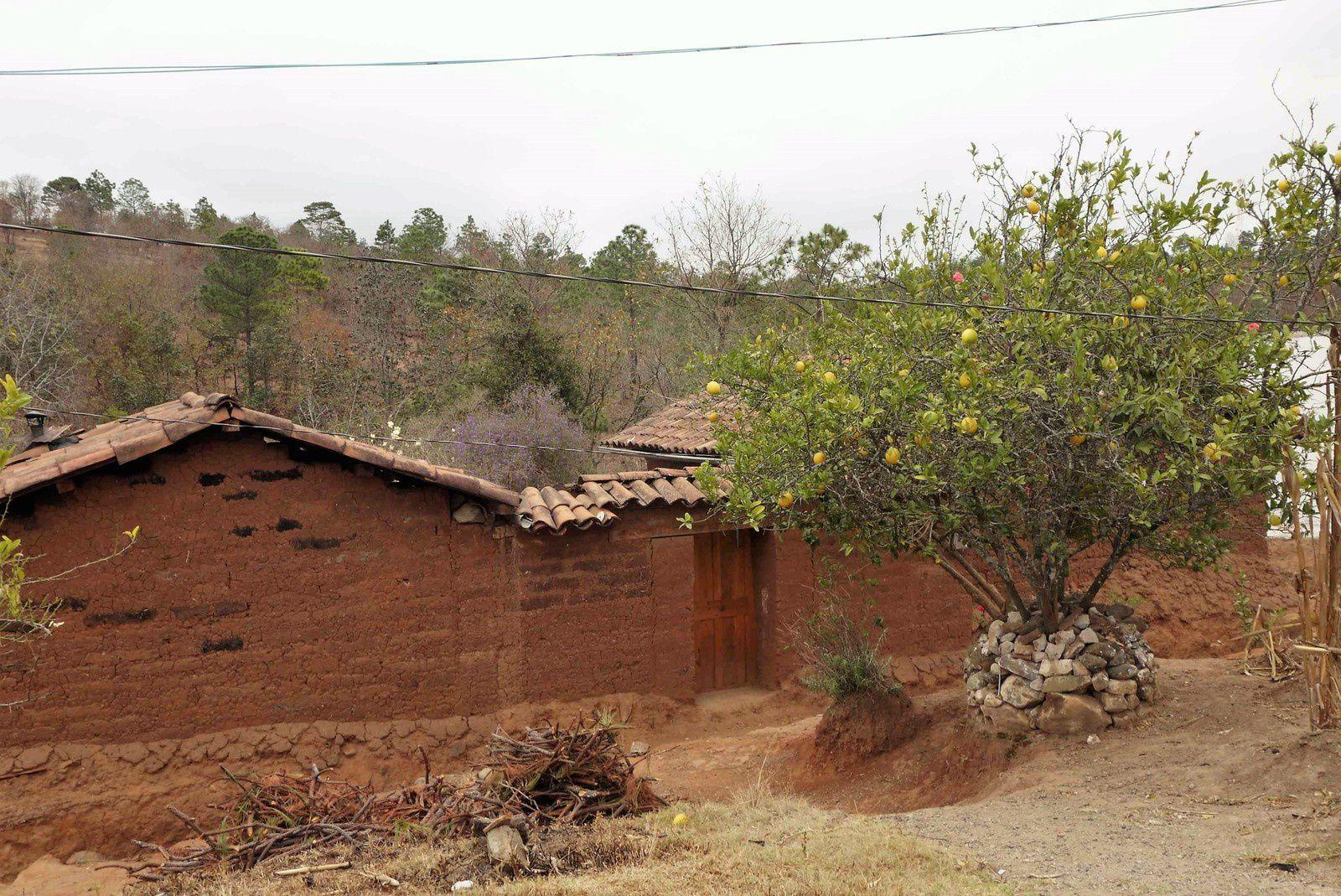 Beaucoup de maisons en murs de parpaings de terre. La souche de l'oranger est bien protégée.