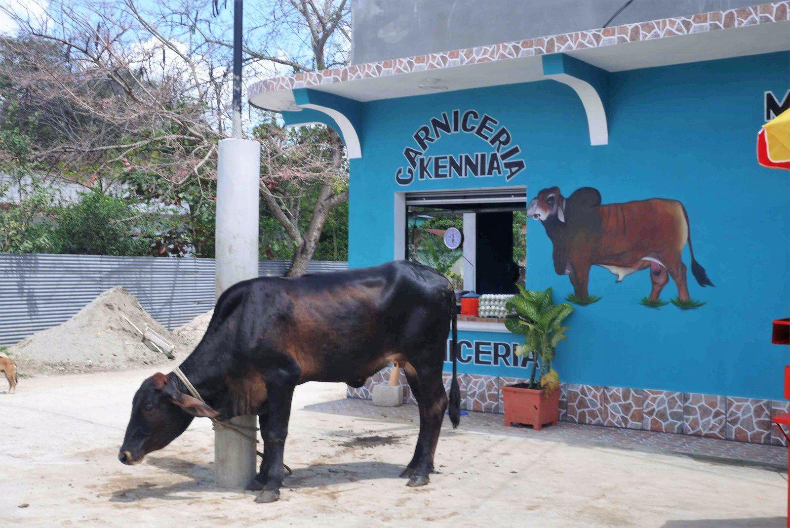 La vache est là, bien tranquille, ne se doutant pas de l'issue qui l'attend.