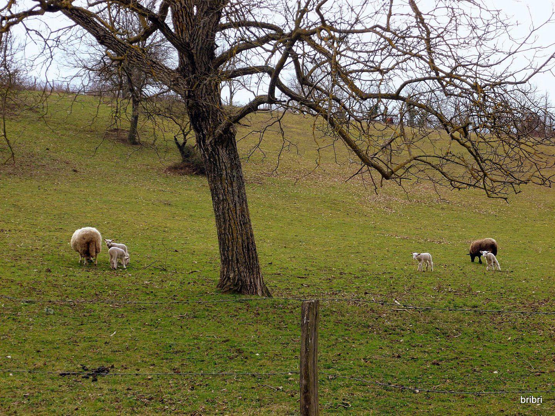 Dans les prés les petits sont là aussi, doux comme des agneaux !!!!