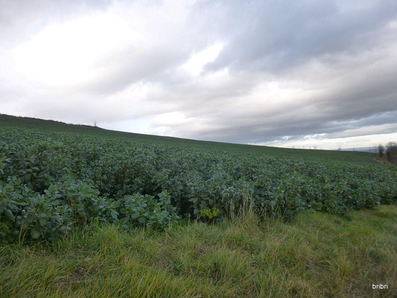 Un  champ de fèves, des plants vus de près, nous en voyons rarement, j'ai vu qu'il y a plein de recettes avec les fèves.