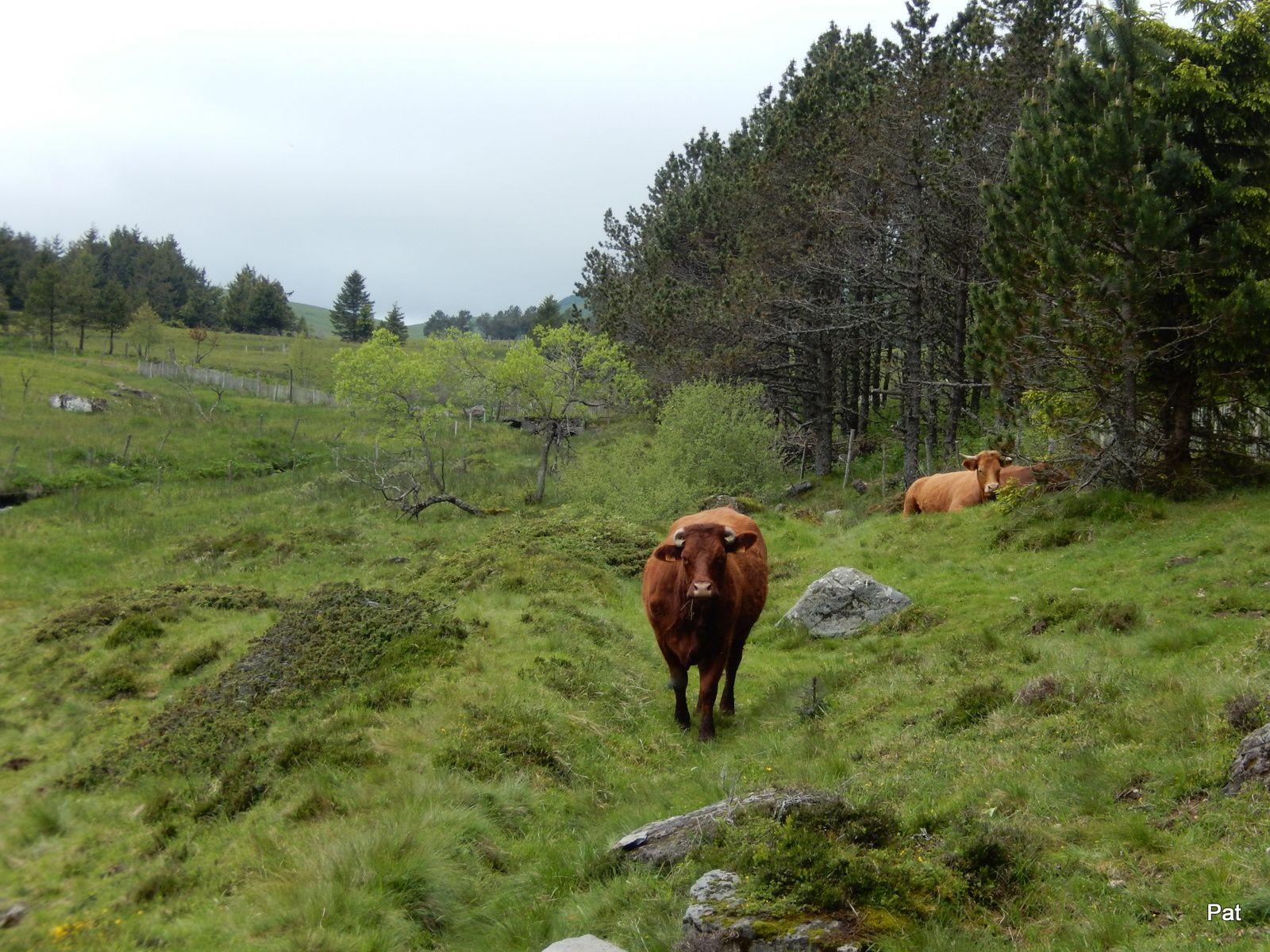 Madame la vache n'a pas l'air contente qu'on passe sur ses terres, mieux vaut l'ignorer et se dépêcher.