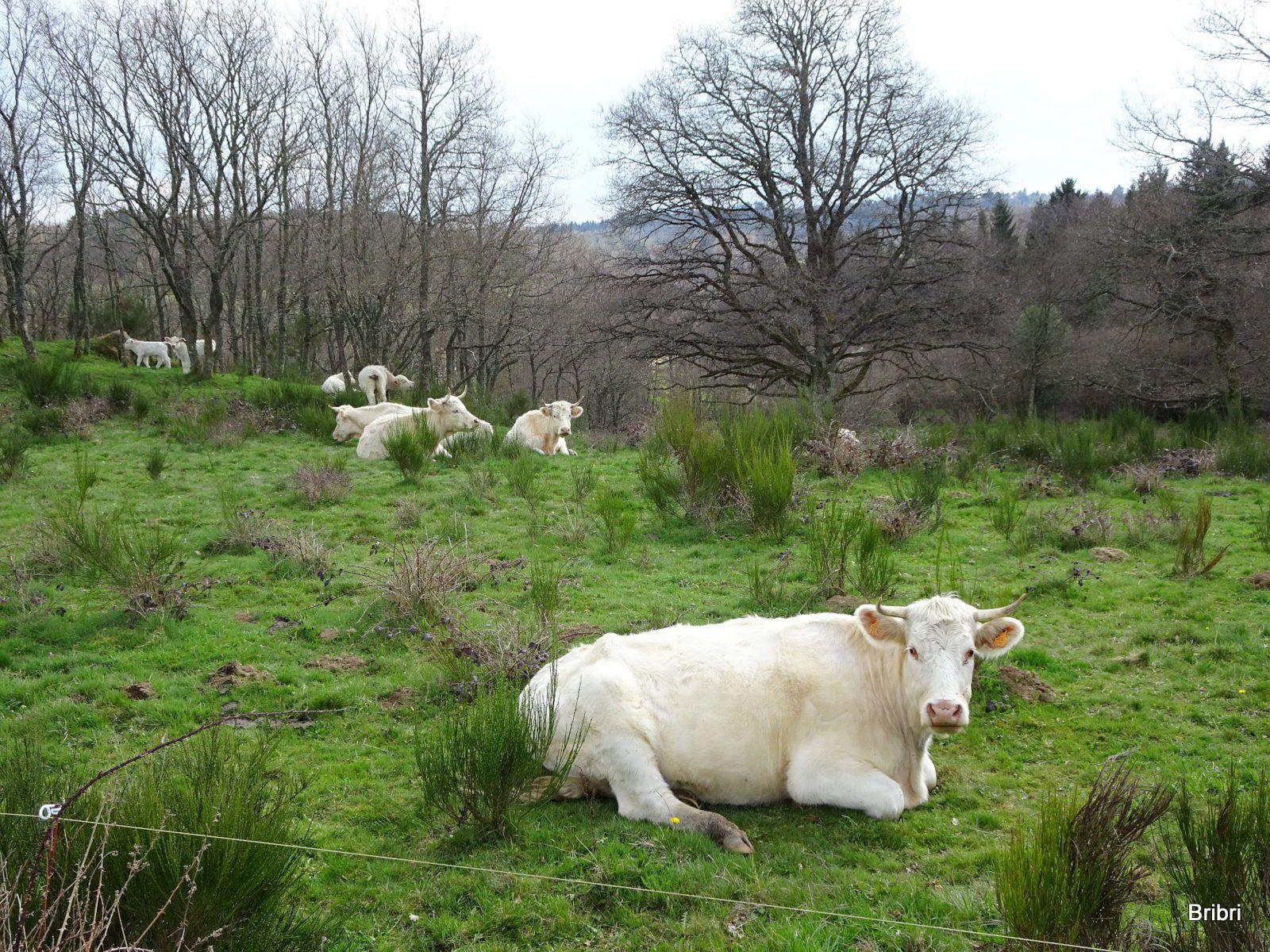 En voila encore d'autres un peu plus loin, il y a pas mal d'élevage en Auvergne.