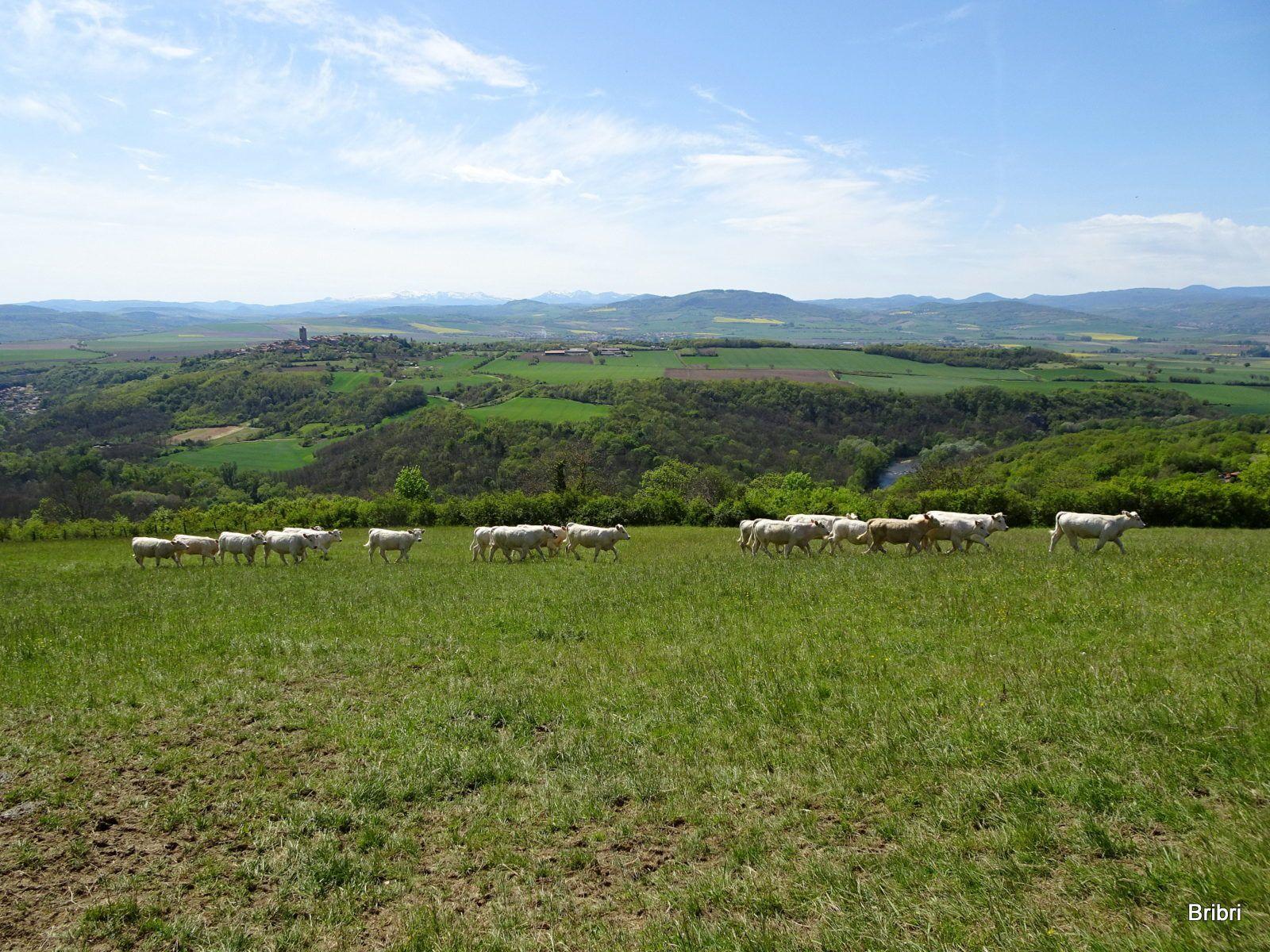 On aperçoit la tour de Montpeyroux au loin. Les vaches font la courses, elles se défoulent.