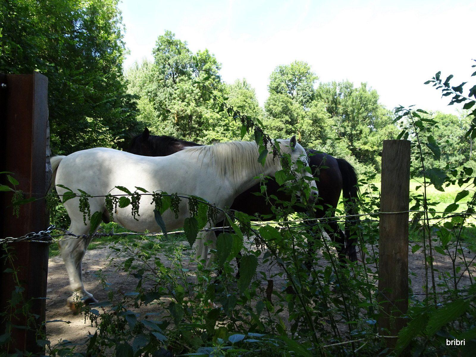Petite côtelette de la rando, les vaches et chevaux cherchent l'ombre comme nous.