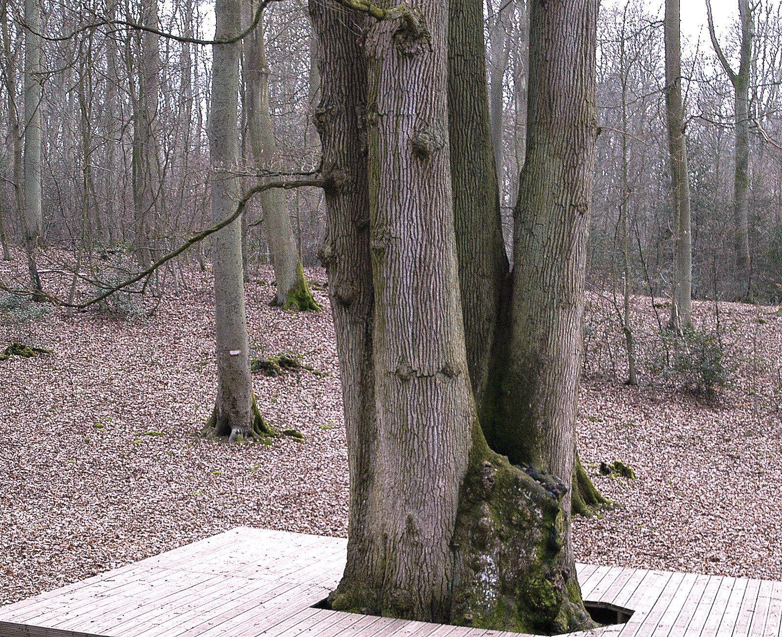 Le chêne cuve en 2007