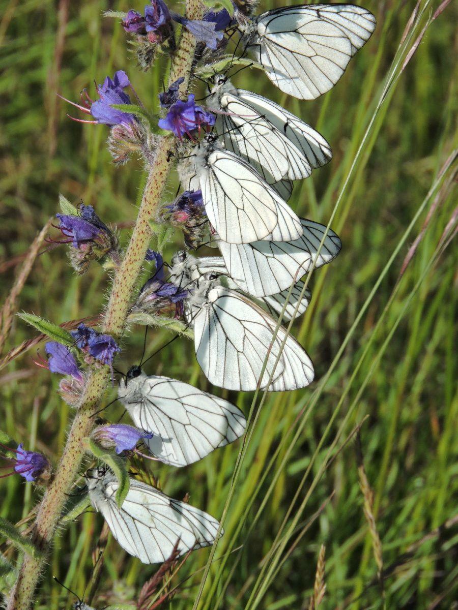 des papillons à foison