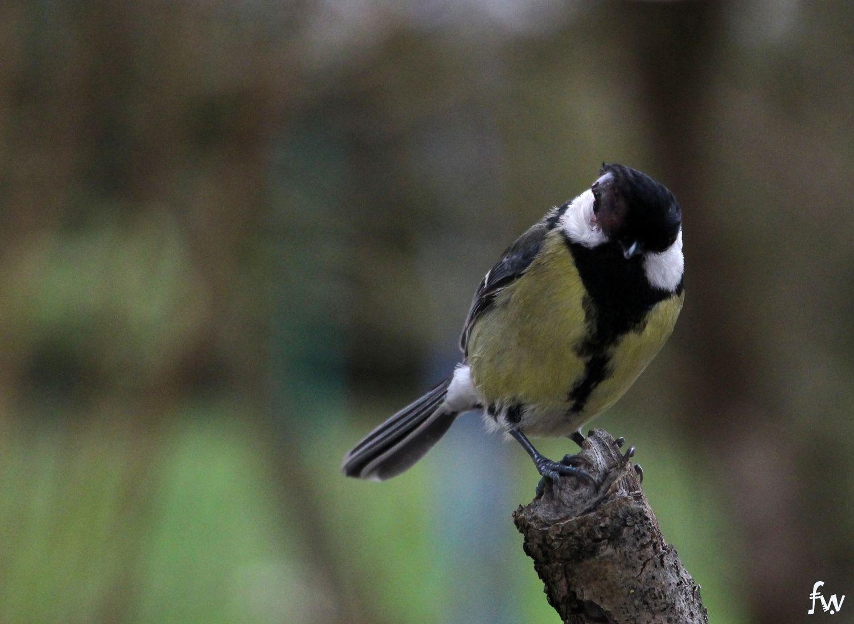 les oiseaux de chez nous ...
