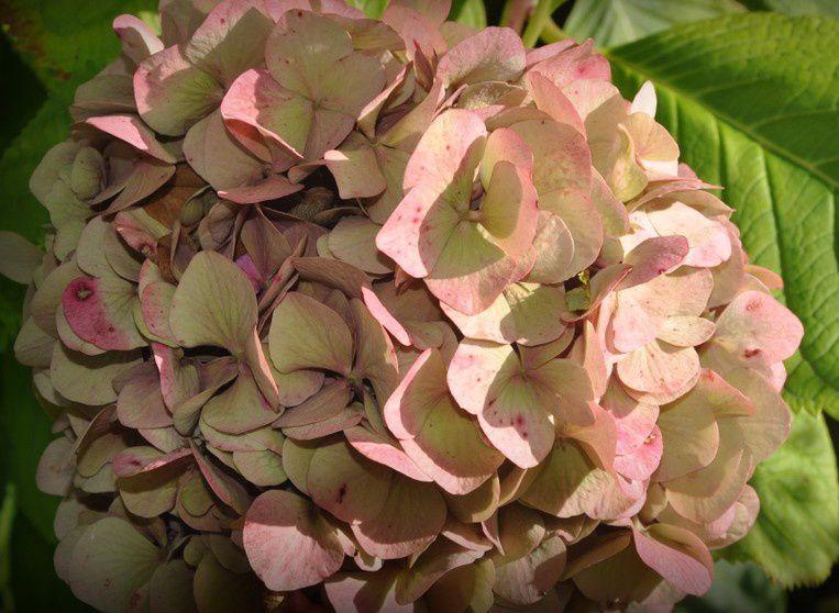 hortensia  ...  sous le soleil d'automne
