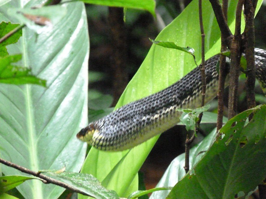 Serpent chasseur