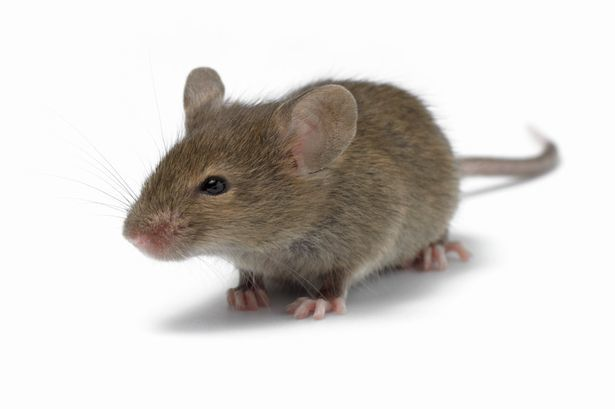 Mice Infestation – What To Look Out For?