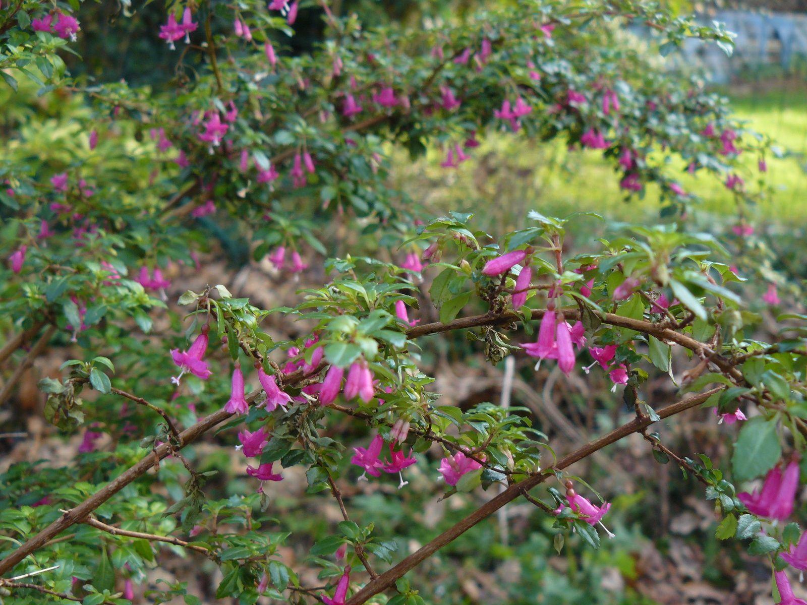 Fushia, premier bouton de camélia et succulentes