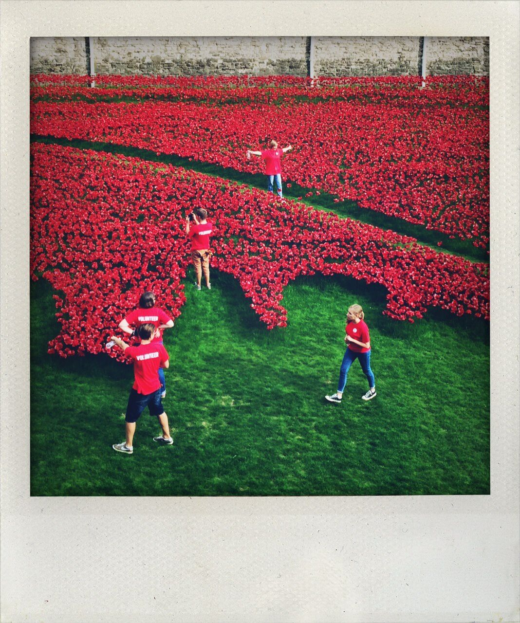 Poppies and volunteers