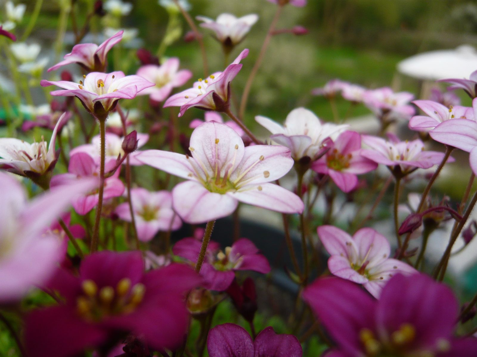 Les saxifrages rose intense, rose tendre et blanc