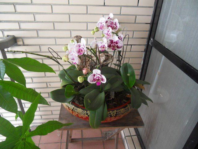 Les orchidées 蘭花