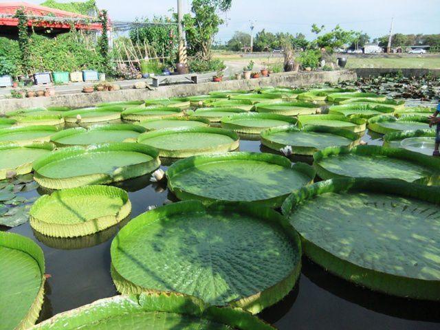 Le Festival du lotus 蓮花節