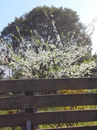 Les cerisiers en fleurs 櫻花