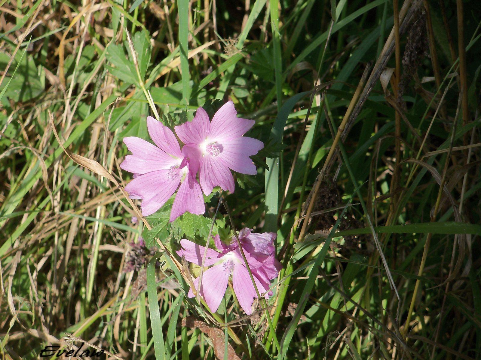 Des jolies fleurs sauvages vues sur le bord du chemin et bien d'autres encore....