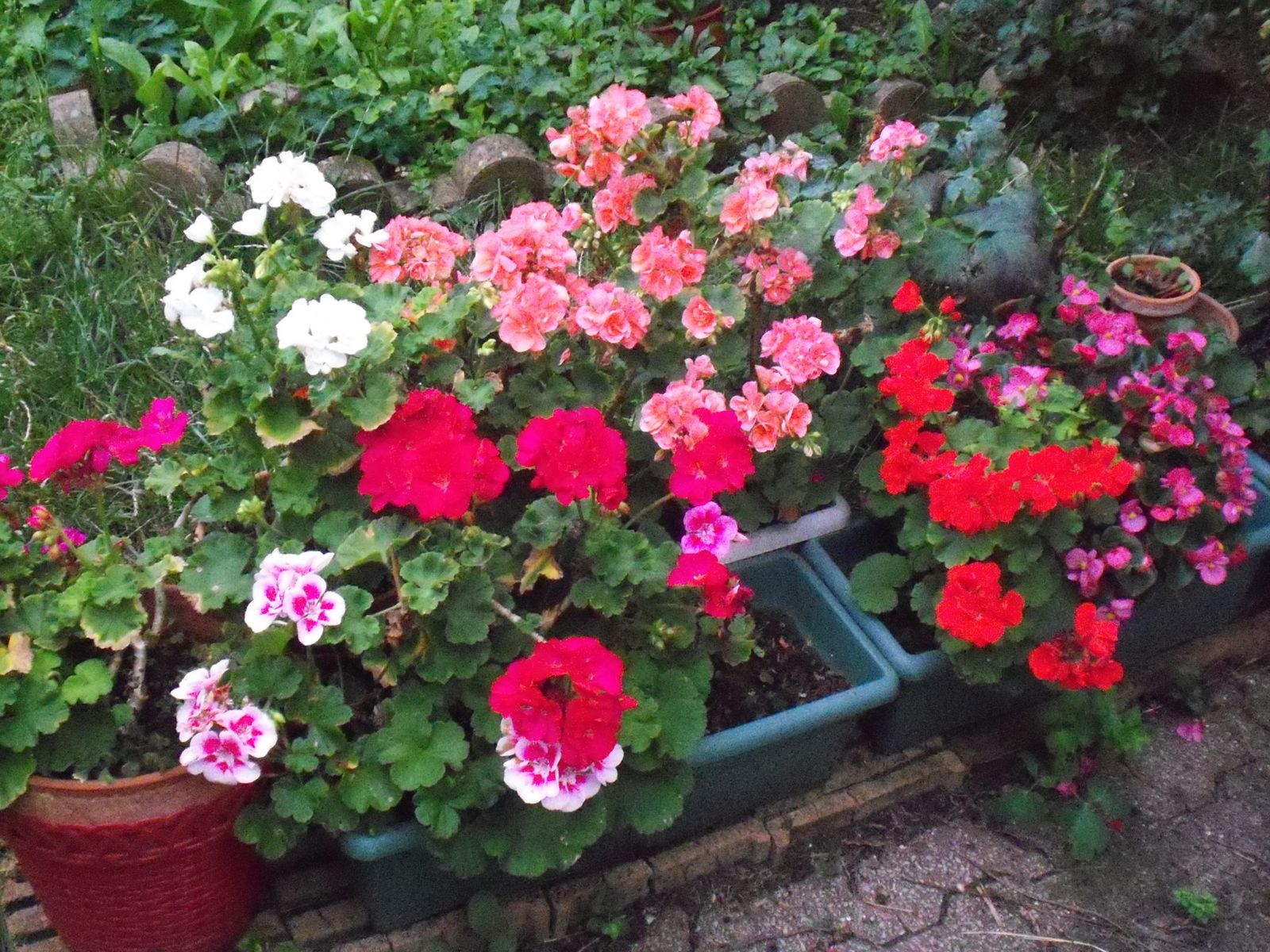 BEL ENSEMBLE DE GERANIUMS COLORES