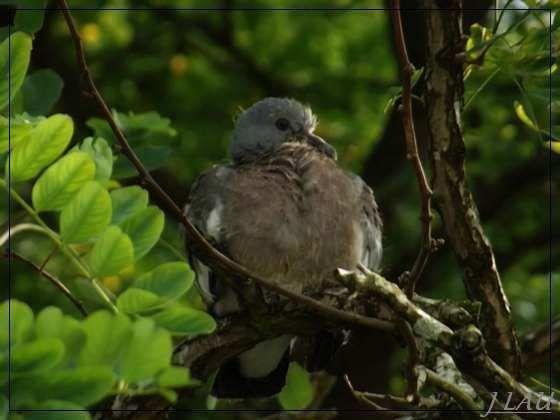 Rouen - une histoire de pigeon