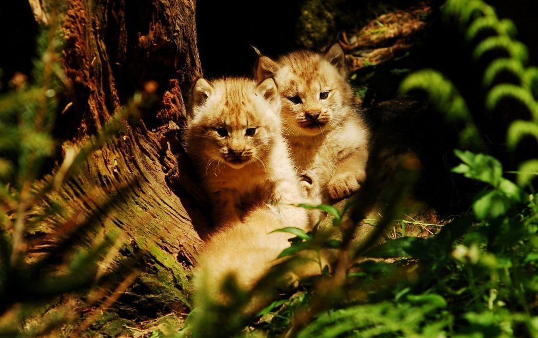 Espèces menacées : Le lynx du Canada