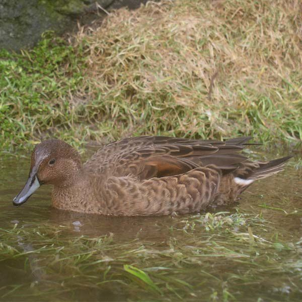 canard d'eaton - Par N. Hanuise — Français wikipedia http://fr.wikipedia.org/wiki/Image:Anas_eatoni.jpg, CC BY-SA 2.5, https://commons.wikimedia.org/w/index.php?curid=3912755