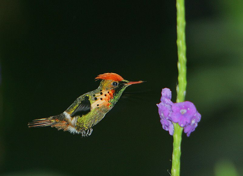 Par Steve Garvie from Dunfermline, Fife, Scotland — Tufted Coquette ( Lophornis ornatus ) maleUploaded by Snowmanradio, CC BY-SA 2.0, https://commons.wikimedia.org/w/index.php?curid=12808925
