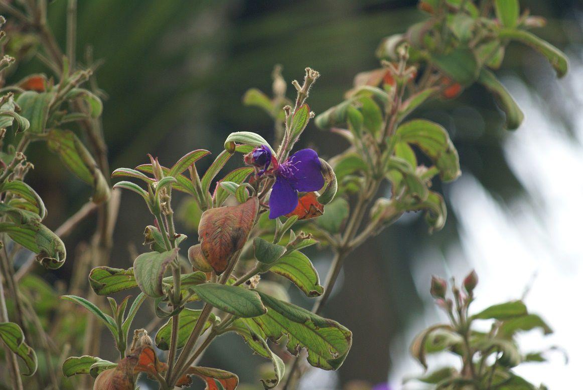 tibouchina urvilleana, melastomastacées, Amérique tropicale, du nom d'une de mes chattes birmanes