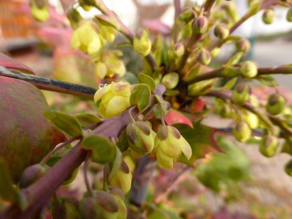 """Hier matin, je suis descendue au jardin...grains très colorés de """"l'arbre à bonbons""""... perles de rosée sur les premières fleurs du Mahonia.. Je pense prendre celle-ci pour le groupe flickr..."""