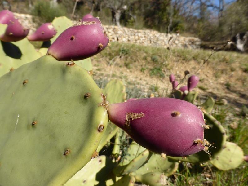 ...figuiers de Barbarie et oliviers.....