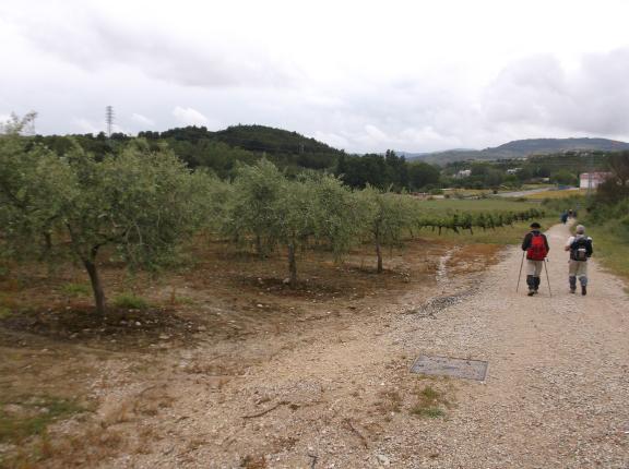 et les premiers champs d'oliviers !