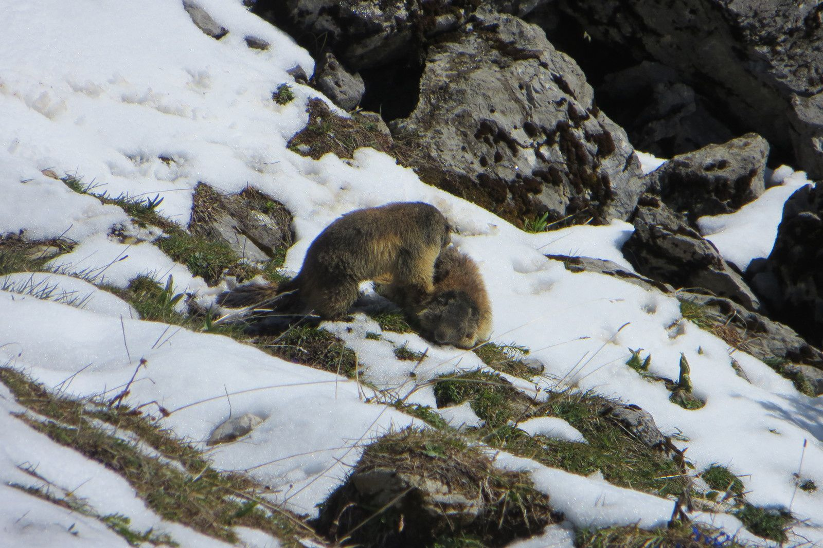 Marmottes joueuses