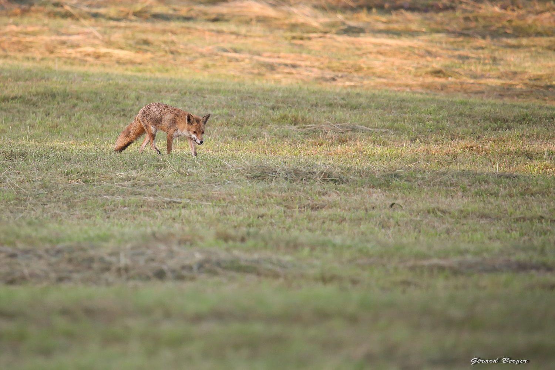 j'avais vu le renard de loin avec les jumelles,je me suis caché dans une rangée de maïs.Il est venu vers moi avec un campagnole