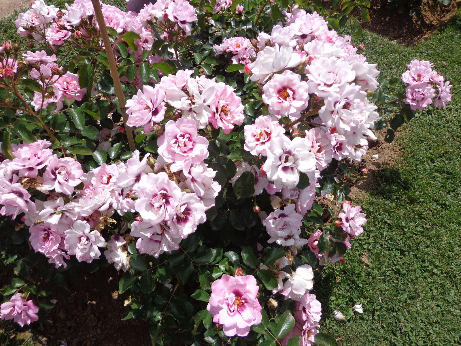 Un bain de roses