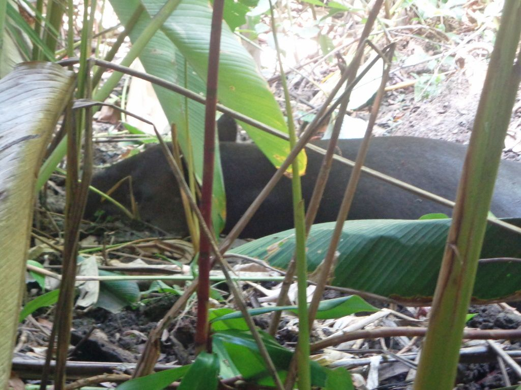 Costa Rica - Jour 12 :  Corcovado - Sentier La Sirena